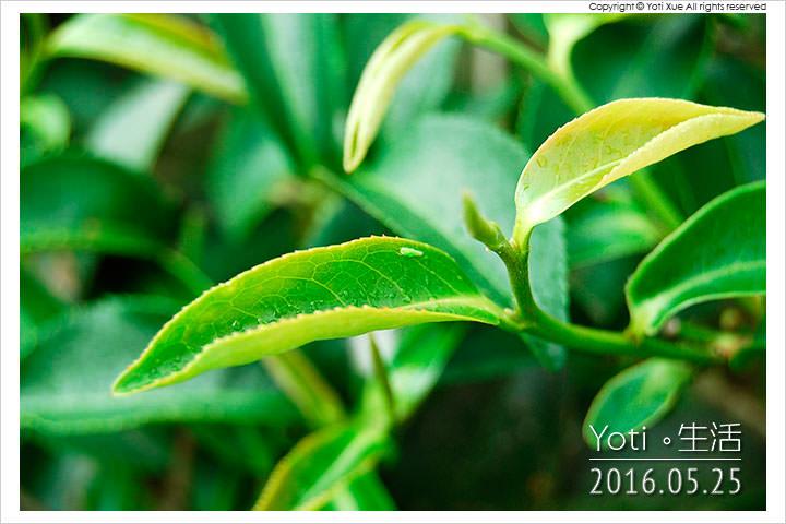 160525 花蓮瑞穗-蜜香紅茶生態故事館 (10)