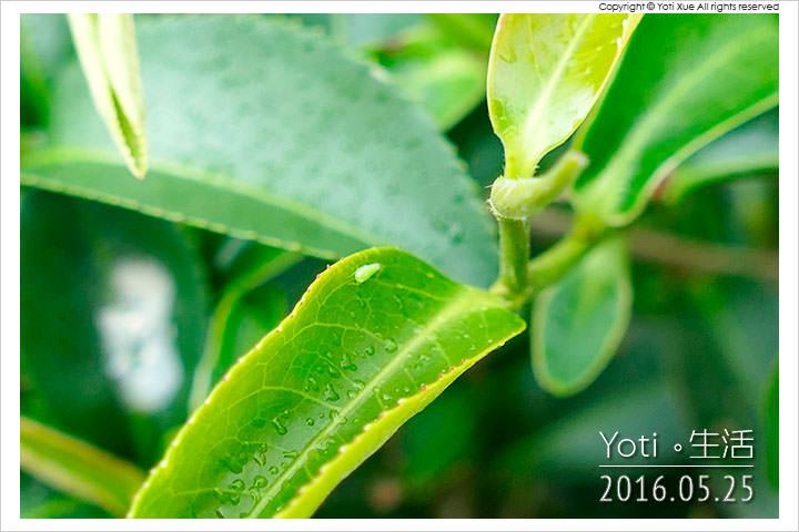 160525 花蓮瑞穗-蜜香紅茶生態故事館 (11)