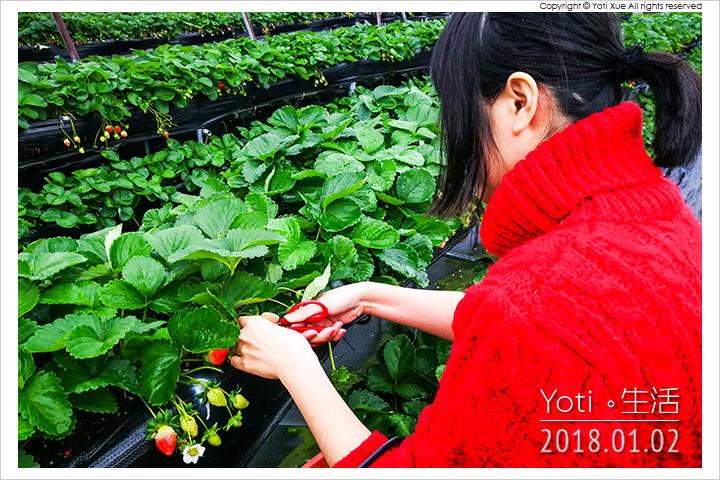 花蓮鳳林-開心草莓園