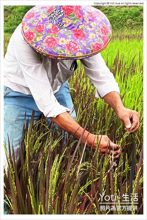 花蓮玉里-縱谷彩稻藝術季-豐收採稻園遊會 (26) 割稻脫穀體驗