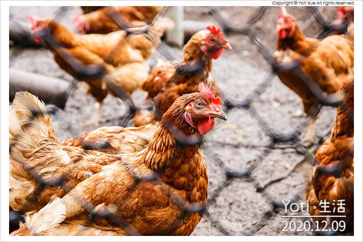 花蓮壽豐-大安日照開心農場-縱谷放牧蛋